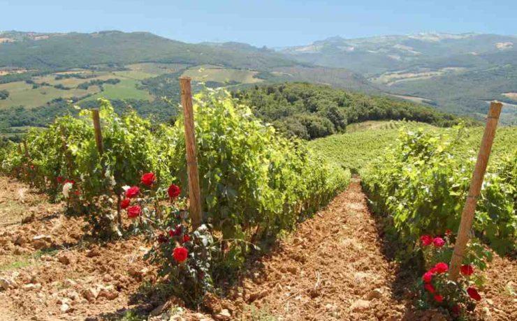 Verdicchio wijn uit Le Marche